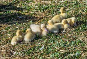 Copywriting Ducks